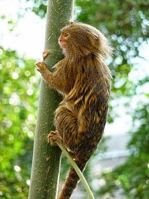 Pygmy Marmoset climbing tree