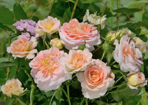 Concerto rose сорт розы фото