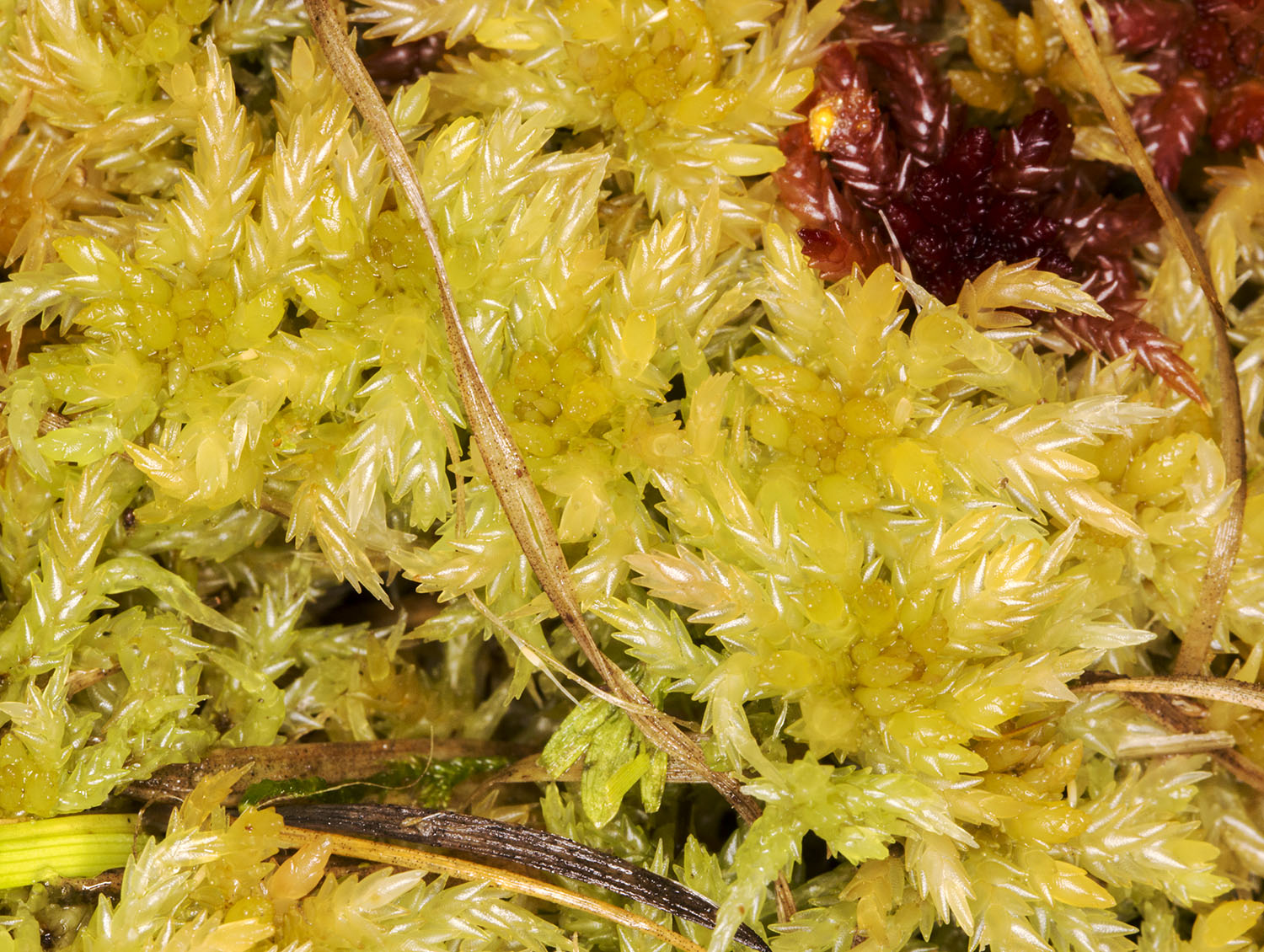 Sphagnum palustre.  Keston Common, 10 December 2014.