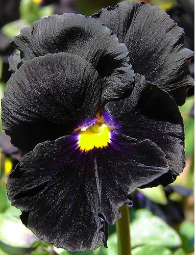Black Plants And Flowers