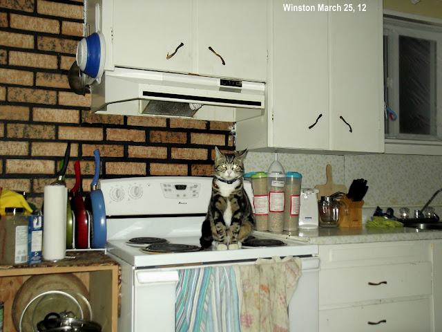 Winston sitting primly on the stove