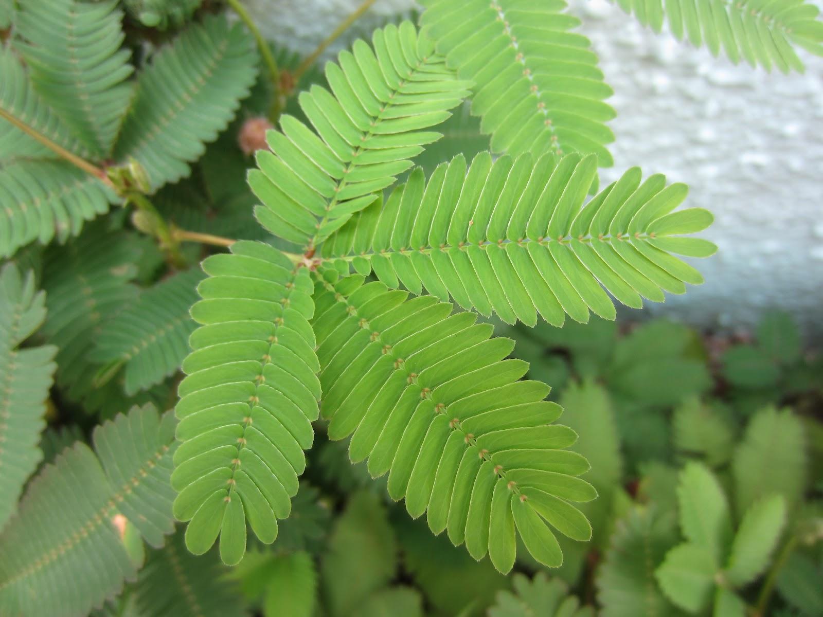 http://2.bp.blogspot.com/-w9whj1uycys/UCEMAvABc0I/AAAAAAAADp0/qOUWHHn4LBs/s1600/mimo+2++leaf.JPG