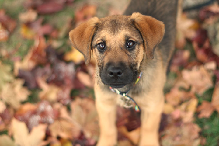 Boxer German Shepherd Puppies desktop wallpaper