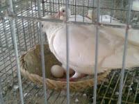 Kỹ thuật nuôi chim bồ câu.