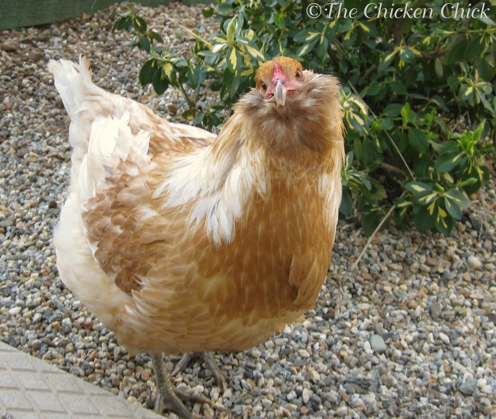 the chicken 5 ways to prepare for chicken illness injury