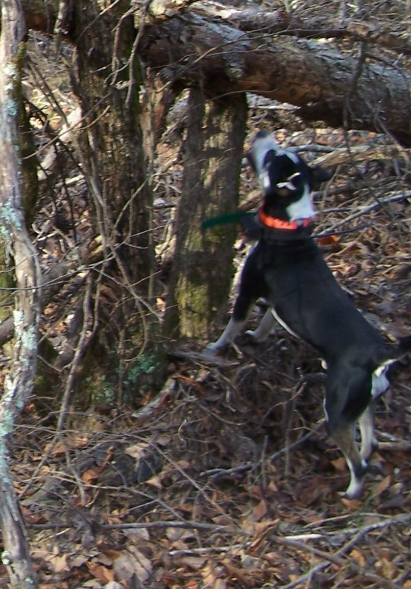 Squirrel Dogs For Sale In Arkansas