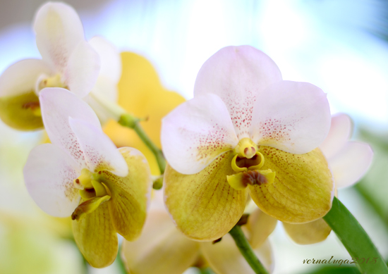 Rasri Gold Variety, Floral Photography by Verna Luga
