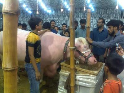 Bakra Eid Cows