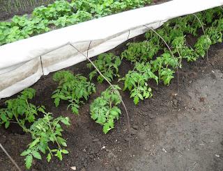 24.05. Высадил детерминантные помидорки