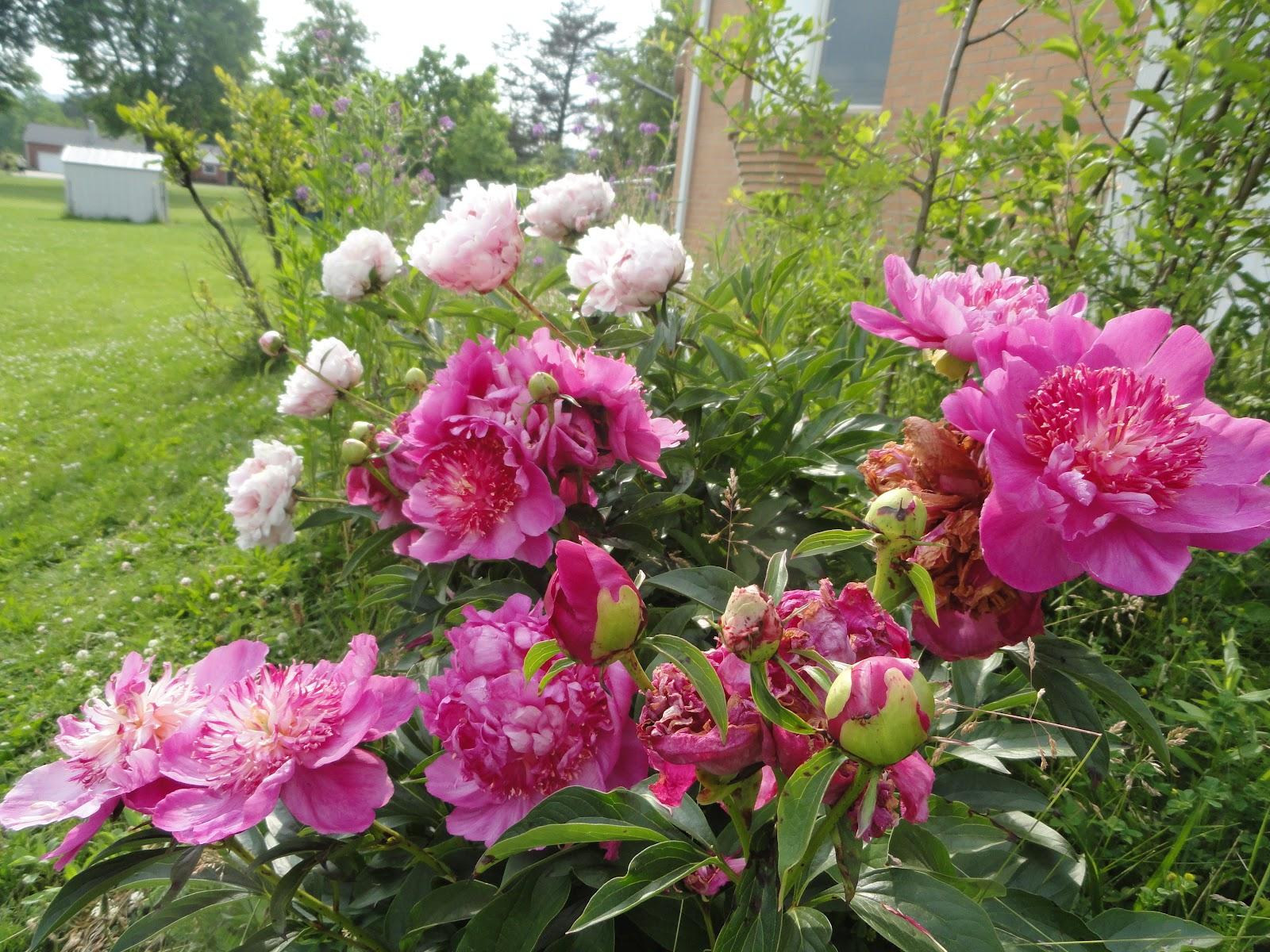 Dr Tsais Blog Peonies Bloom In May A Return To Grandeur