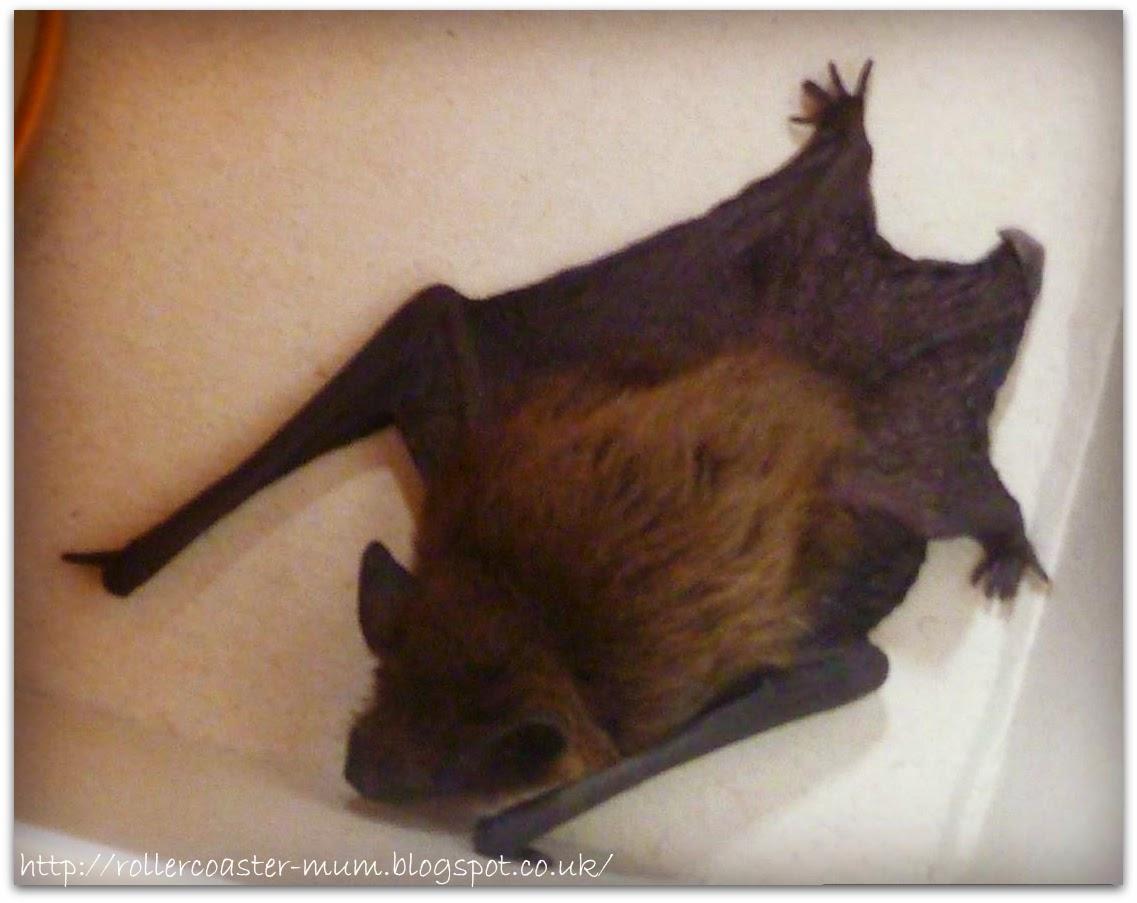 Pipistrelle bat , baby