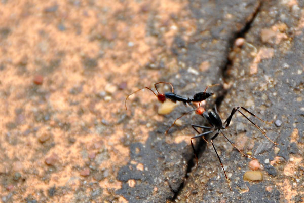 spider ant carrying another ant