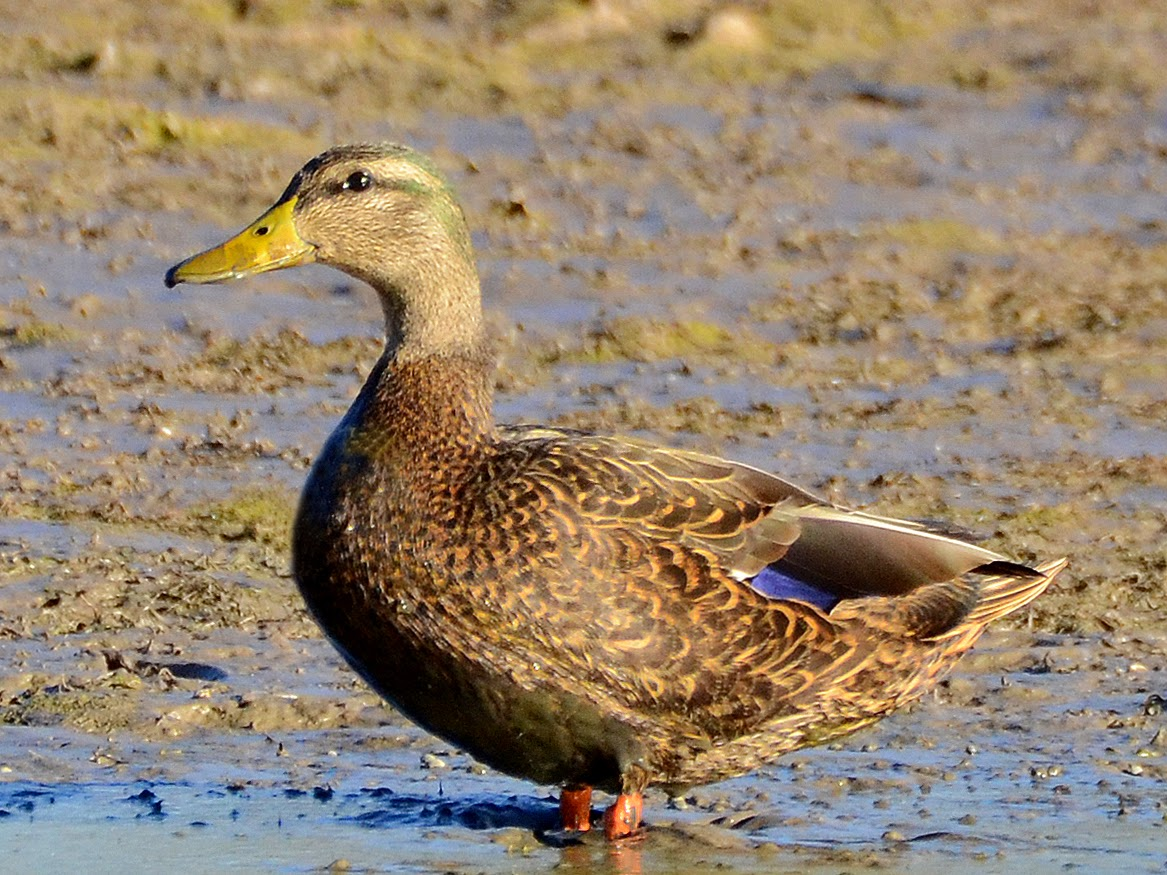 Bird Hybrids: Mallard x Mexican Duck
