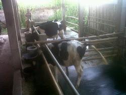 Pedet Denkamilk Merbabu Farm 21 Mei 2012