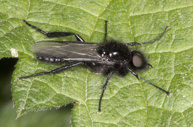 St. Mark's Fly, Bibio marci.  Joyden's Wood, 12 May 2012.