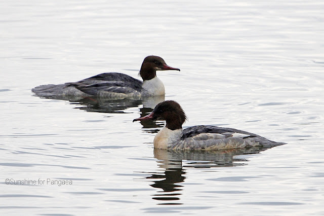 Common Meganser (Mergus merganser) on the Altmühlsee