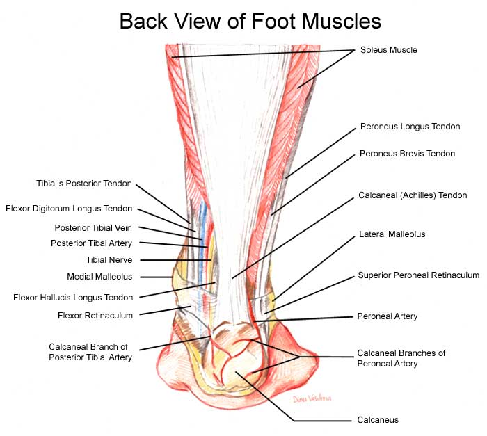 Foot and Ankle Muscles