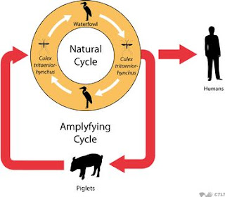 japanese encephalitis Dimagi bukhar life cycle by chiragan