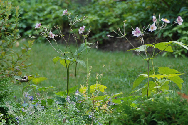 Catmint (Nepeta faassenii 'Walker's Low') and Japanese anemone (Anemone tomentosa 'Robustissima')