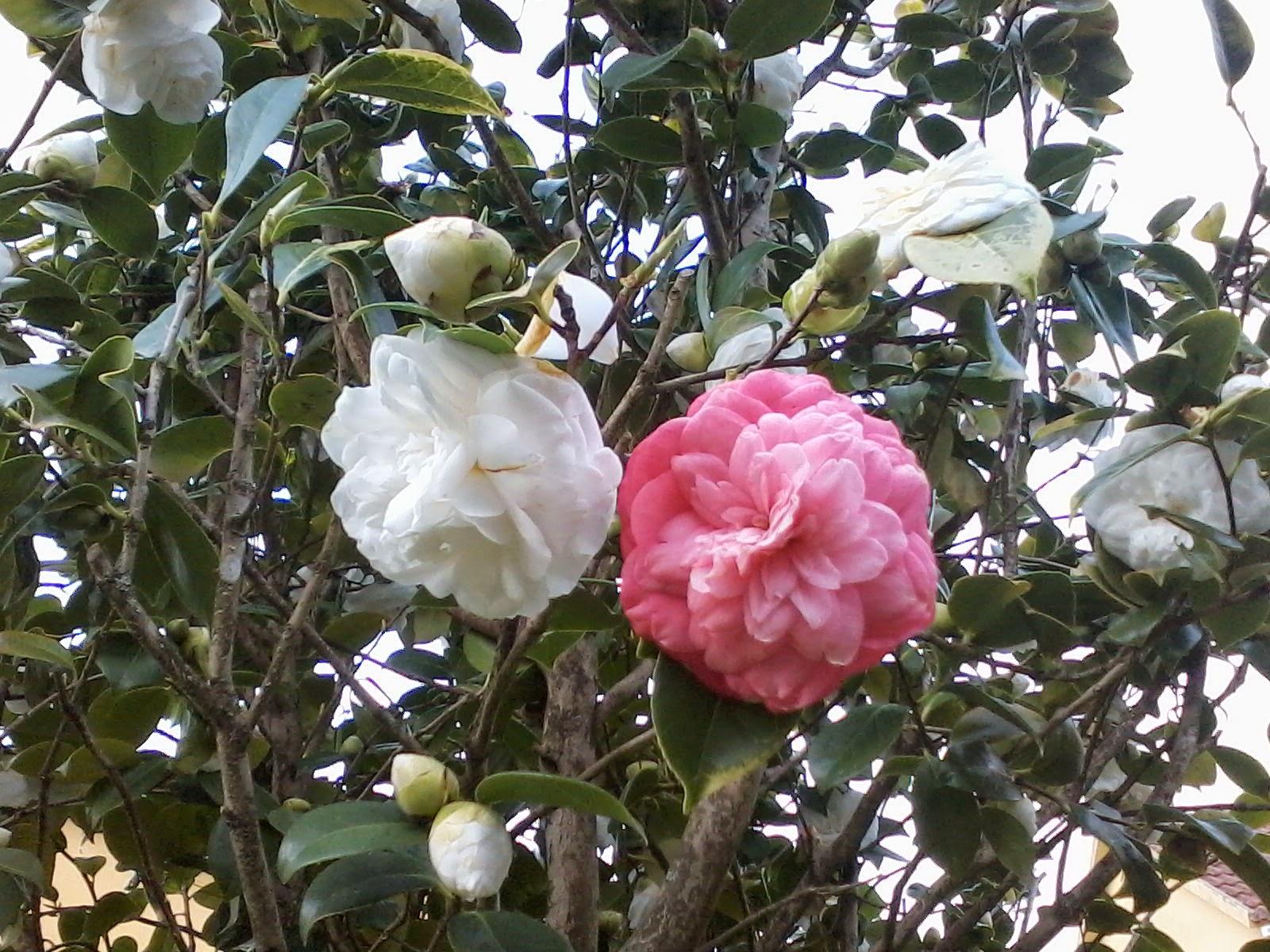 camelia rosa y blanca