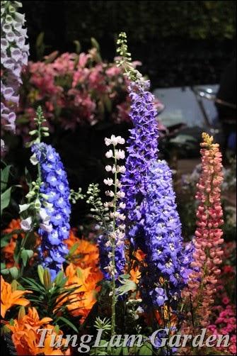 Hoa Phi yến, hoa chậu TungLam garden