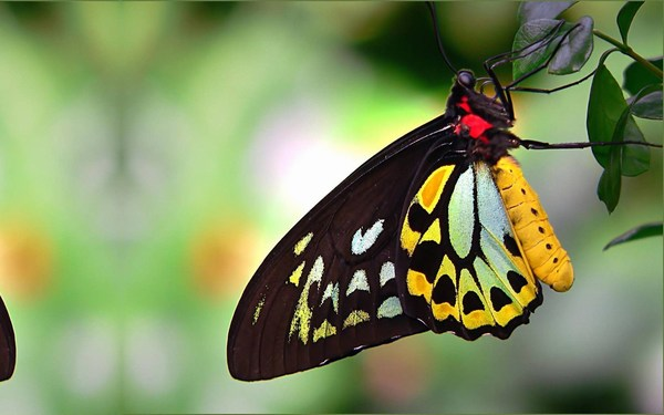 Australian Butterfly Birdwing Cairns Background Waterfall Images for Desktop