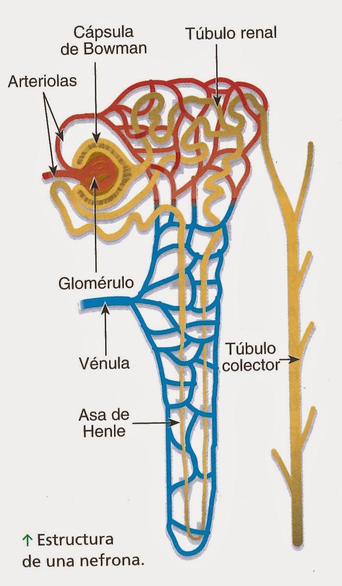 Biologa Aplicada 4A 3 2014 PRCTICA DE RIN DE CERDO Y CORDERO