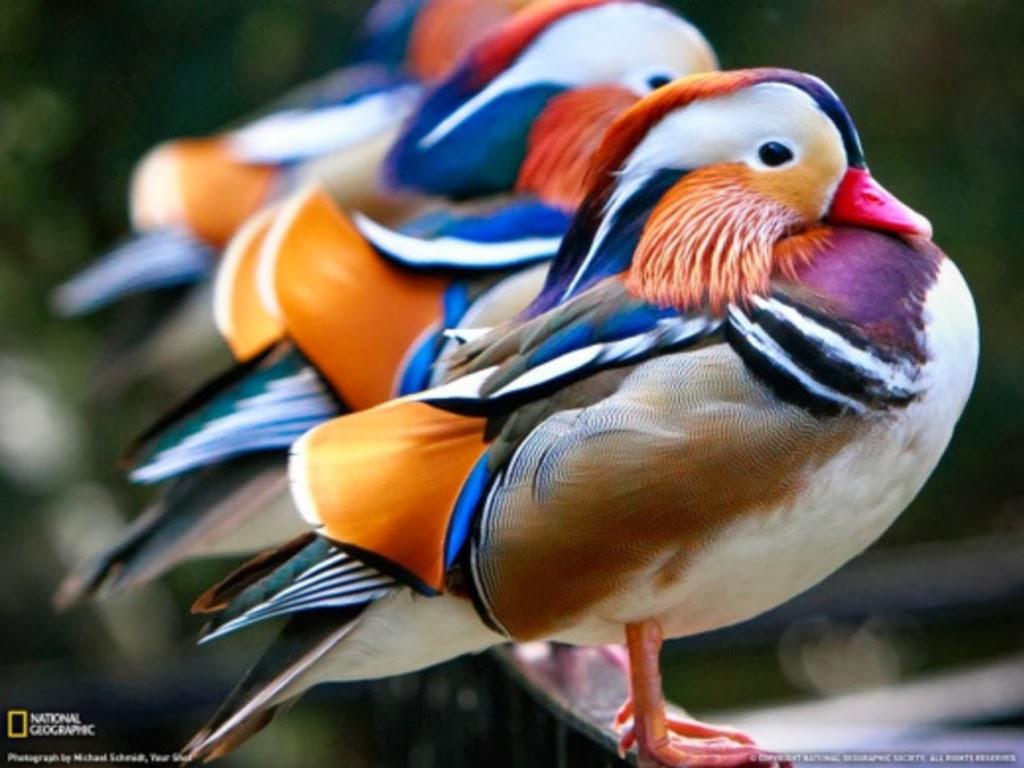 "<img src=""http://2.bp.blogspot.com/-wDvBwmcGoeo/UtmciizAt-I/AAAAAAAAIsg/MWV7RDJbwfo/s1600/beautiful-wild-ducks.jpeg"" alt=""beautiful wild ducks"" />"