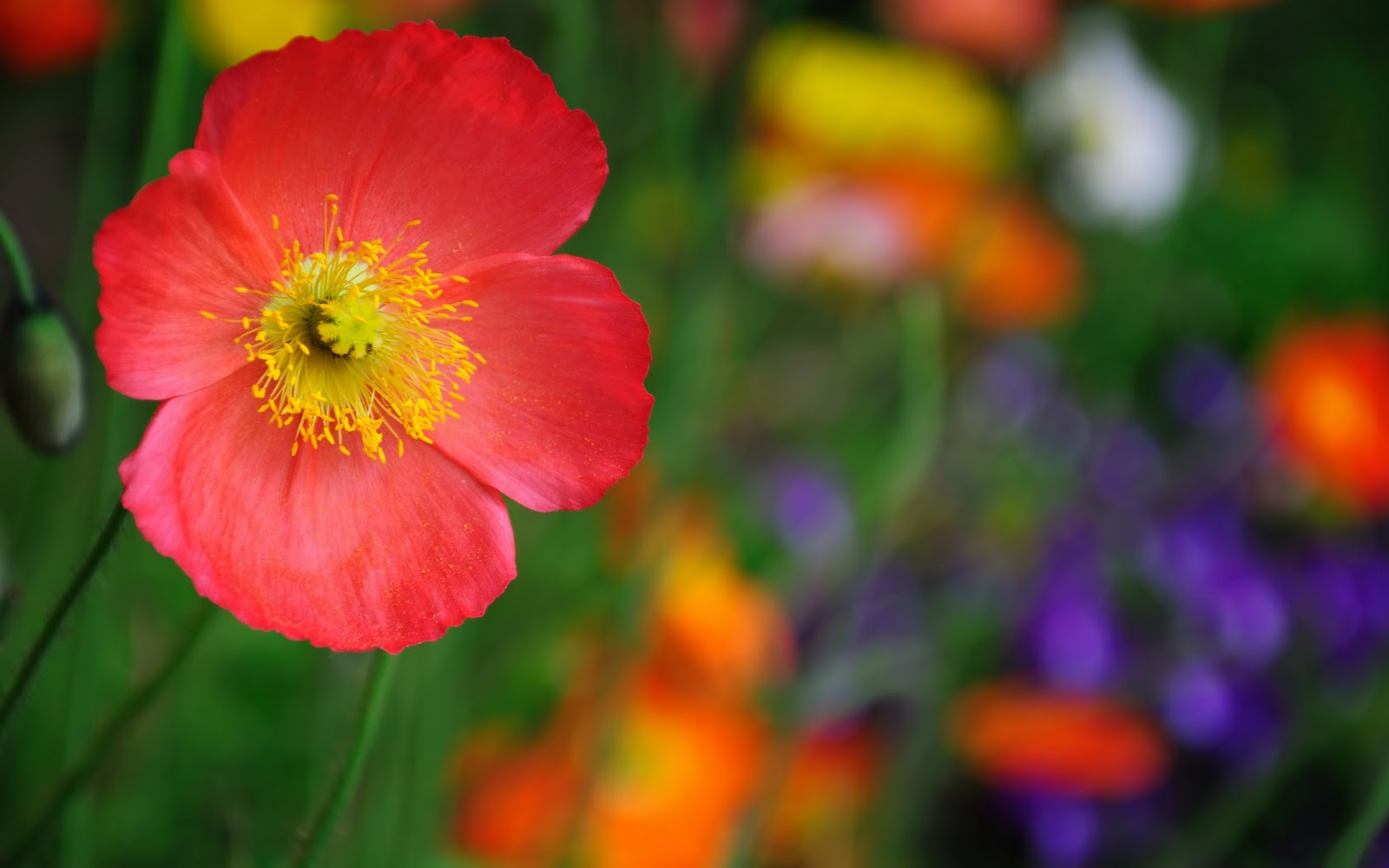 http://2.bp.blogspot.com/-wEFFsHLIe_I/TuwrvIci1nI/AAAAAAAAD0c/88Ud8B2YORY/s1600/Varieties_poppy_-_high_quality_desktop_wallpaper.jpg