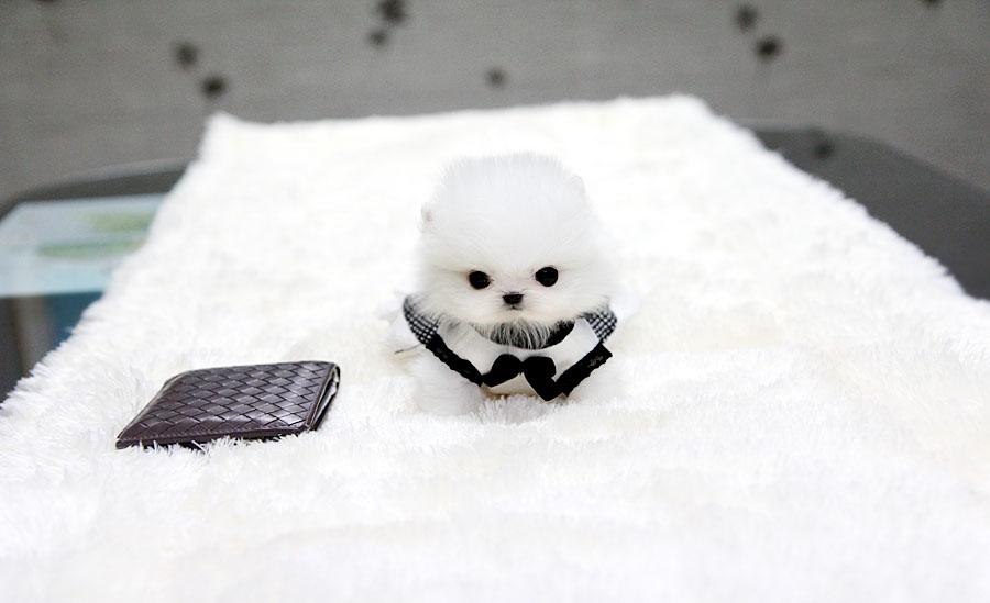 White Teacup Pomeranian Puppies Cute fluffy pomeranian puppies
