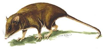 oposum pigmeo de cola corta Monodelphis kunsi