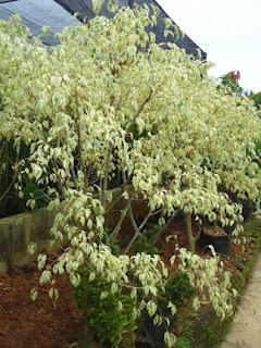 pohon beringin putih variegata