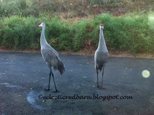 Eclectic Red Barn: Sandhill cranes on the driveway