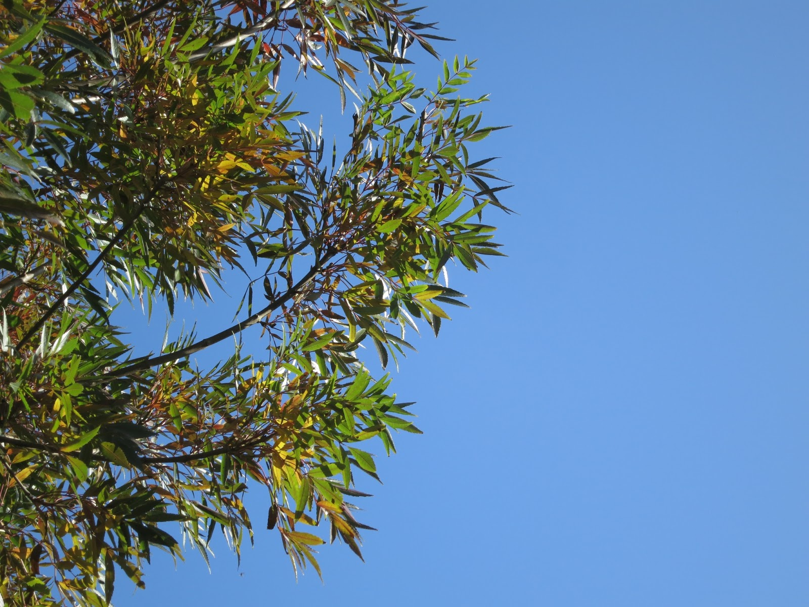 Leaves of an ash tree changing colour for autumn against a blue sky