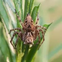 Araña Lince