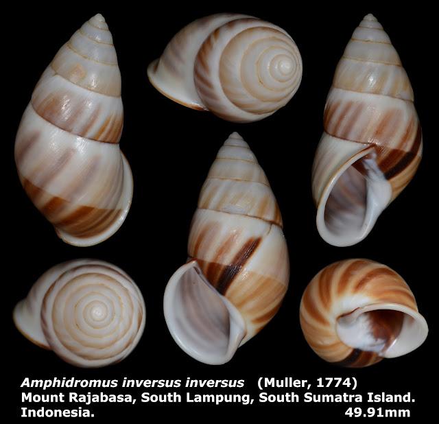 Amphidromus inversus inversus 49.91mm