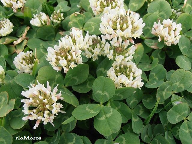 TRÉBOL BLANCO: Trifolium repens
