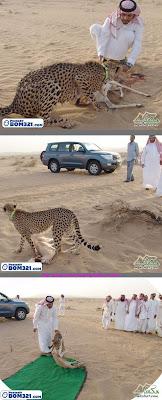 Harimau Bintang Bantu Tuannya Menangkap Rusa