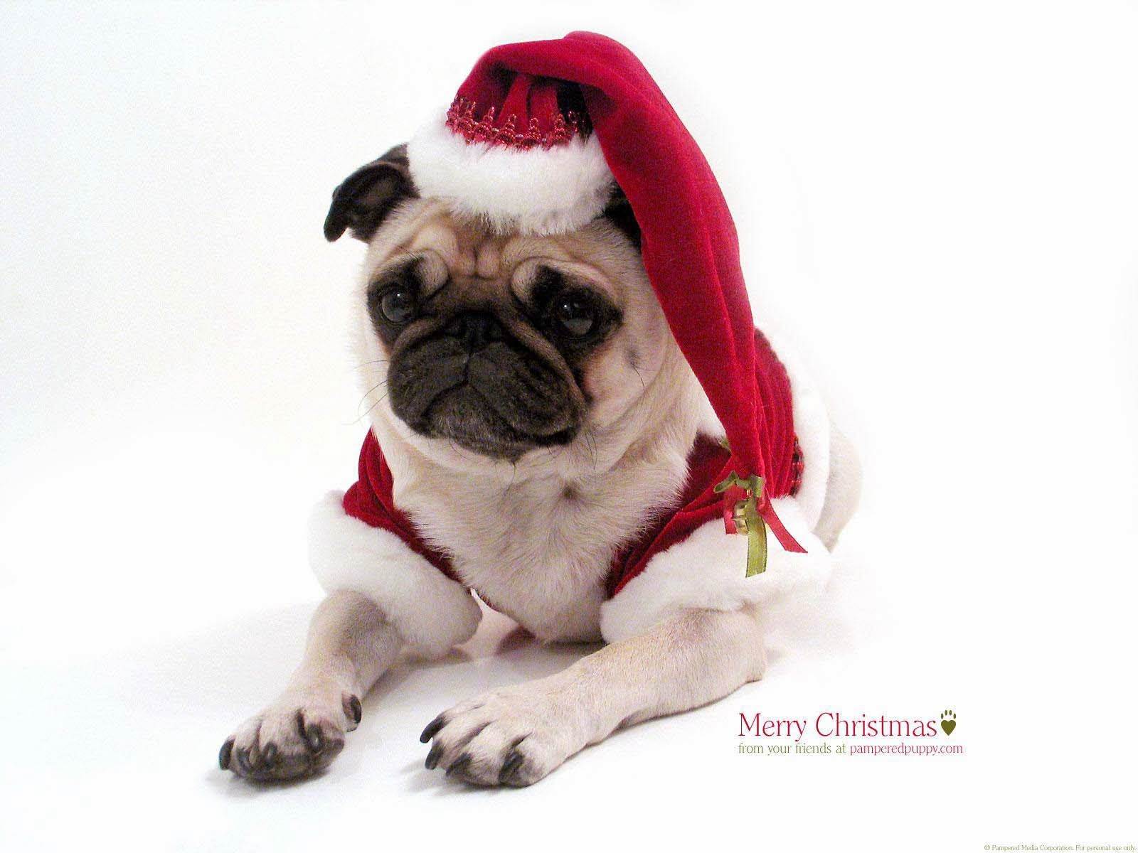 Pug Hd Christmas Wallpaper