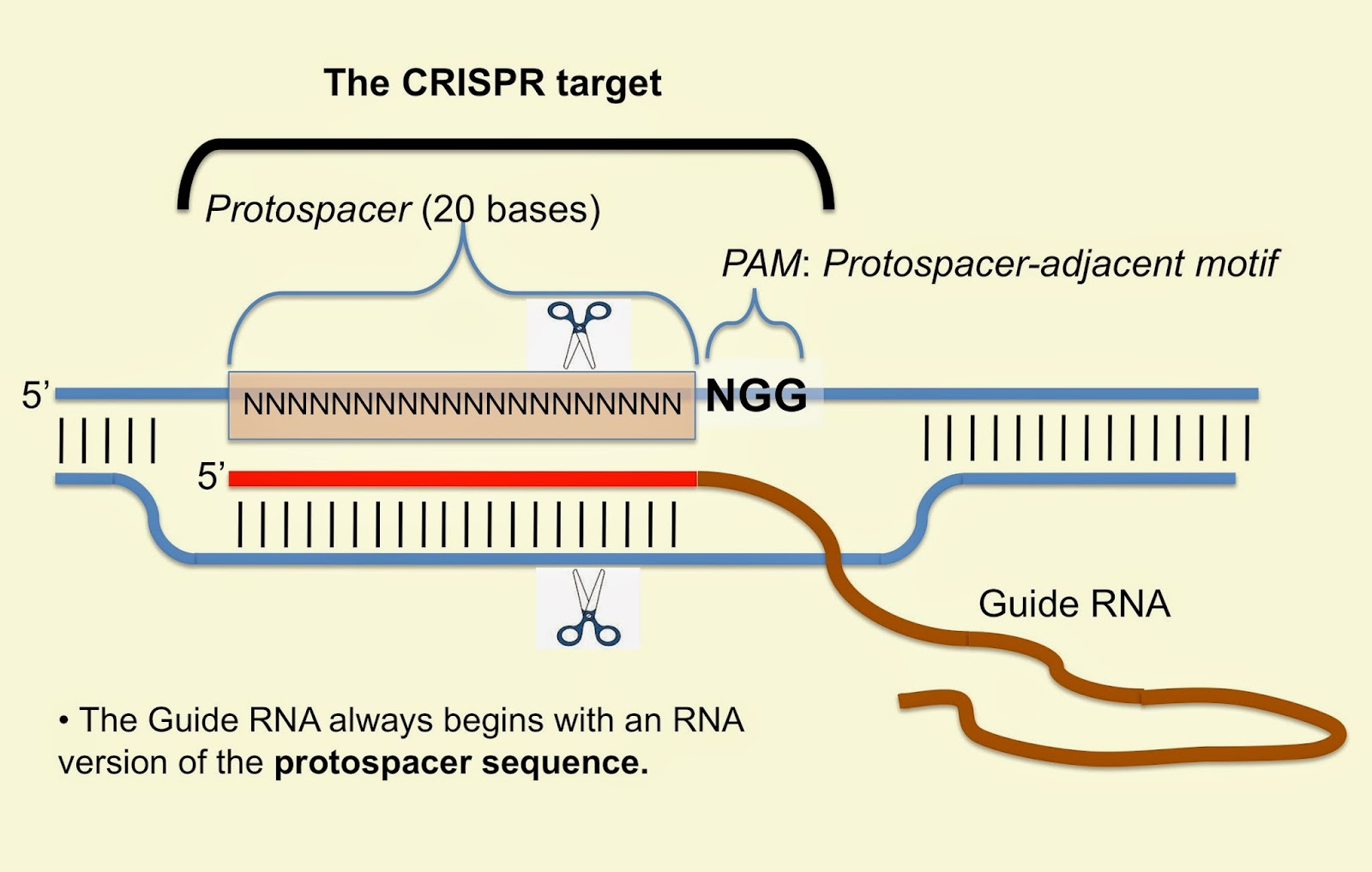 A Crispr Blog Bibliography The Cas9 Crispr Target Diagram Manual Guide
