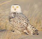 Snowy Owl Closeup