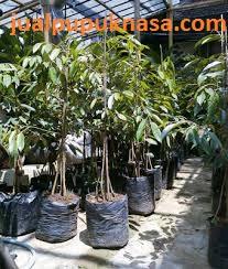 Bibit Durian Bawor berkaki 4, harga Rp.125.000,-