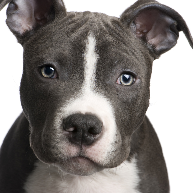 American pitbull dog - photo#10