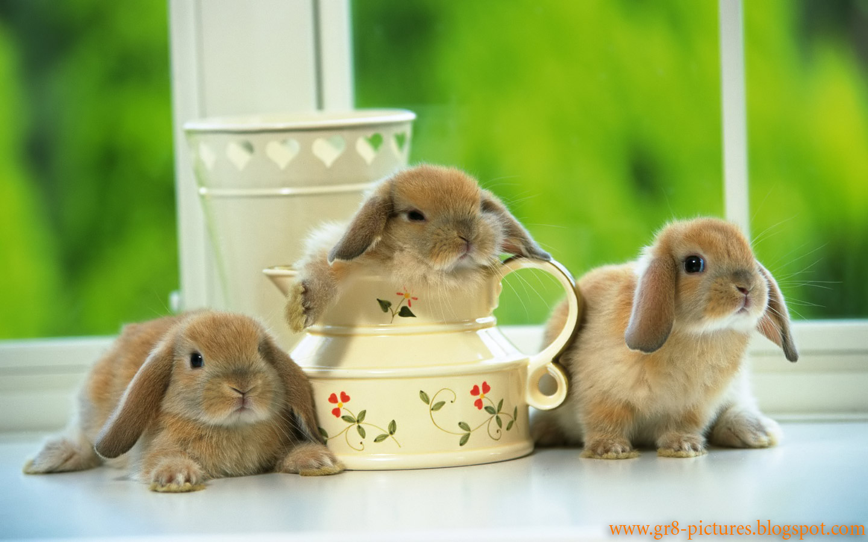 http://2.bp.blogspot.com/-wHYACyVv8lM/Tpbv_jKP3kI/AAAAAAAABT0/PnyXm6gbdMg/s1600/European+Domestic+rabbits.jpg