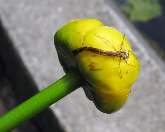 Flower of yellow water lily, Nuphar lutea, aka brandybottle, with damselfly or dragonfly exuvium.  This was floating loose in the water among some damaged plants and roots.  The flower smelt strongly of alcohol.  Keston Common grassland walk, led by Judy John.  15 June 2011.