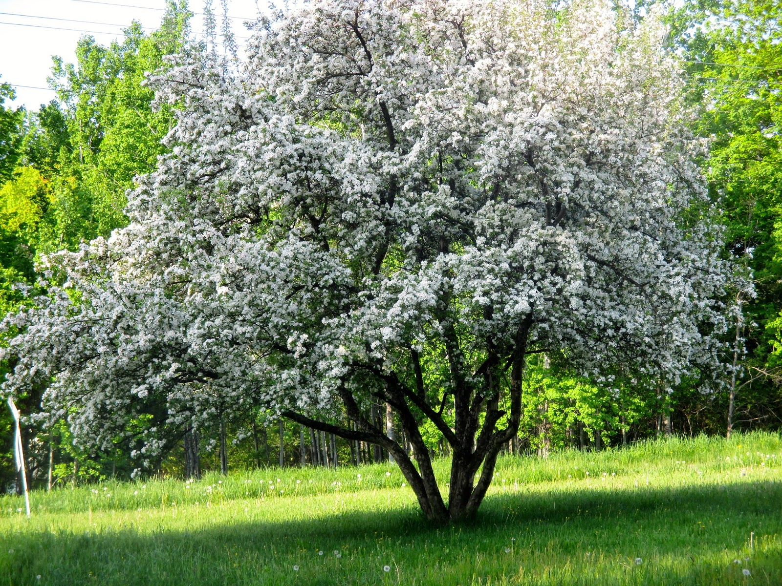 Arts Bayfield Almanac Apples And Crabapples Are Blooming