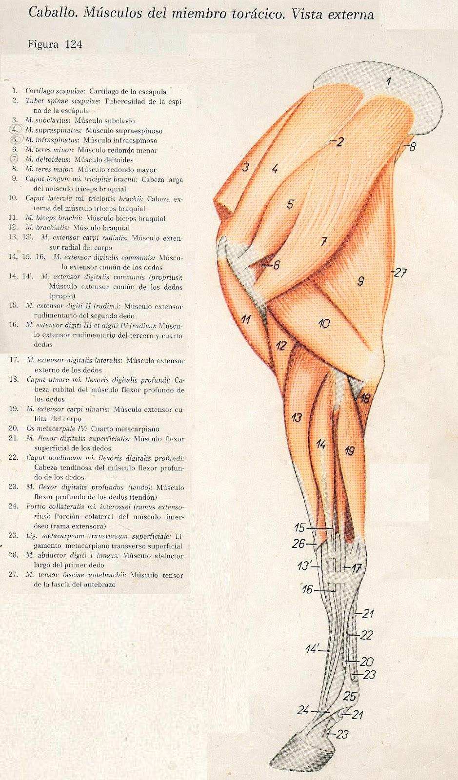 Anatomia Veterinaria: abril 2011