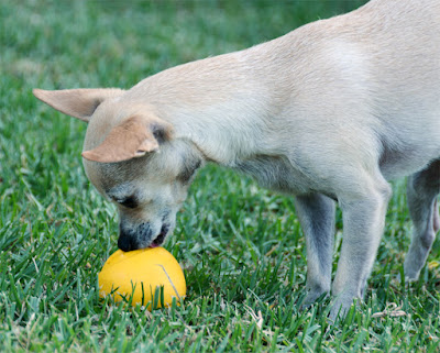 chihuahua in grass with yellow ball
