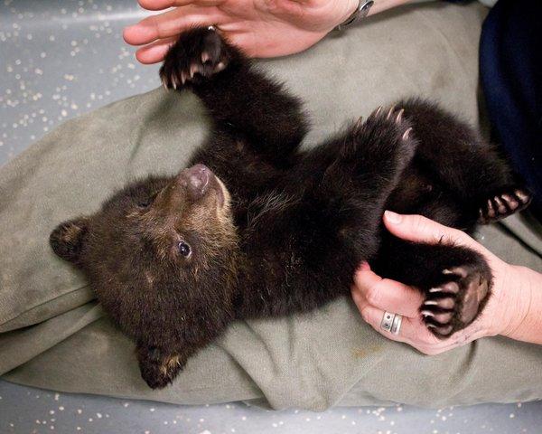 how to get a pet bear