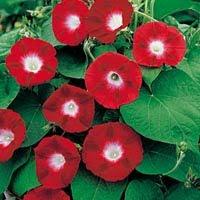 Red Ipomoea Violacea